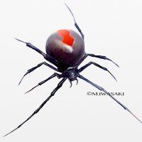 危険生物・セアカゴケグモ